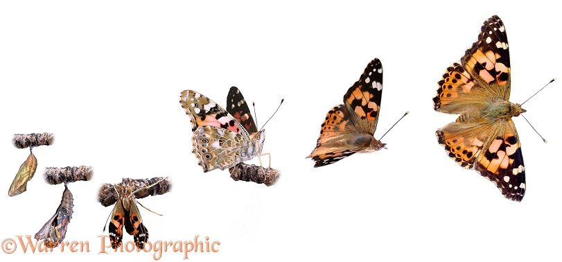 Painted Lady (Cynthia cardui). Sequence showing emerging from chrysalis to taking off, white background