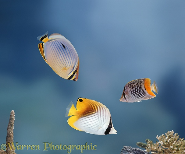 Golden Butterflyfish (Chaetodon auriga) (below), with dorsal eyespot, Chequered Butterflyfish (Chaetodon chrysurus) (right), and Rainbow Butterflyfish (Chaetodon trifasciatus)