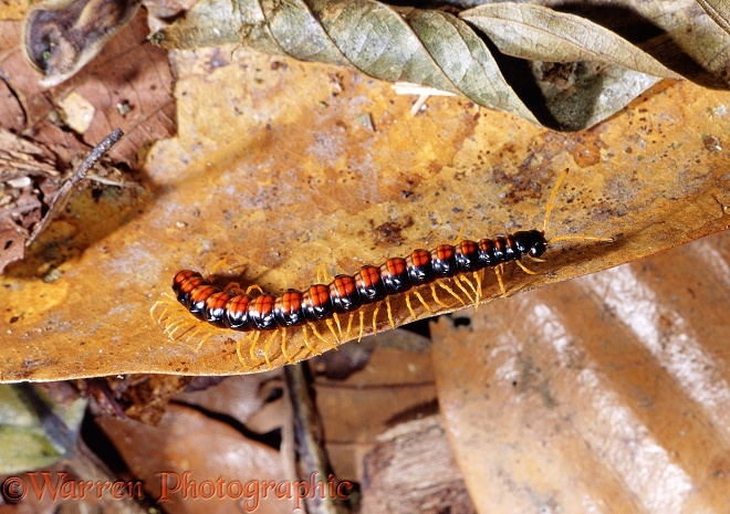 Tropical rainforest centipede.  Borneo