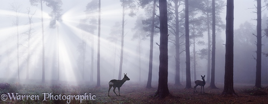 Roe Deer (Capreolus capreolus) among Scots Pines (Pinus sylvestris) with mist and sunbeams
