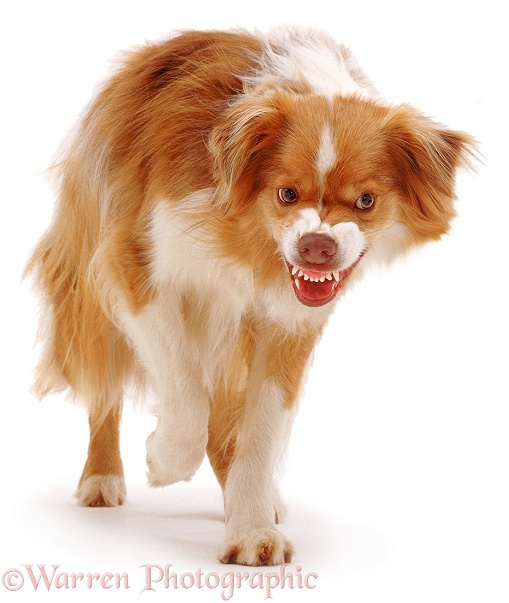 Border Collie dog, Brak, snarling, white background