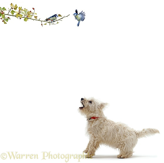 Westie barking at blue tits, white background