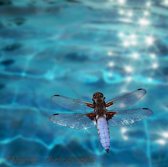 Broad-bodied Chaser Dragonfly (Libellula depressa) flying over glistening water.  Europe