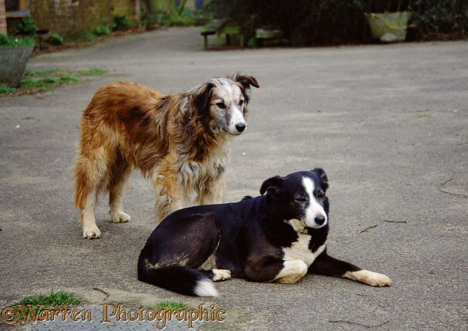 Elderly Border Collies: Jasper (standing) and his mate, Tess