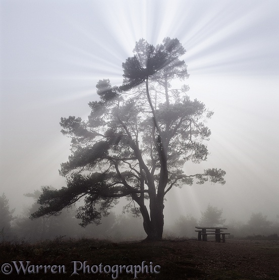 Scots Pine (Pinus sylvestris) with mist and sunbeams