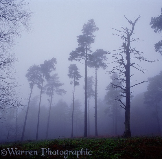 Scots Pines (Pinus sylvestris) in the mist.  Surrey, England