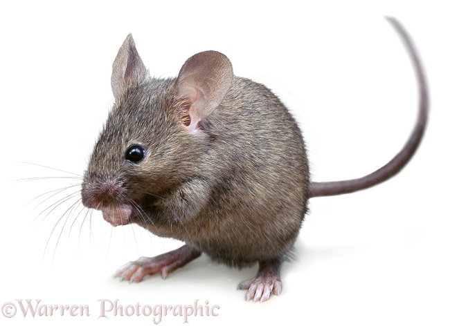 House Mouse (Mus musculus), white background