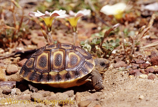 Angulate Tortoise (Chersina angulata) hatchling.  South-west Africa