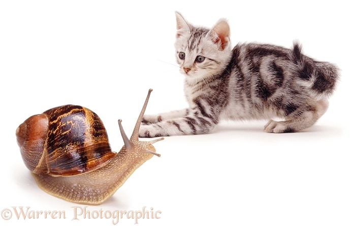 Silver kitten and snail, white background