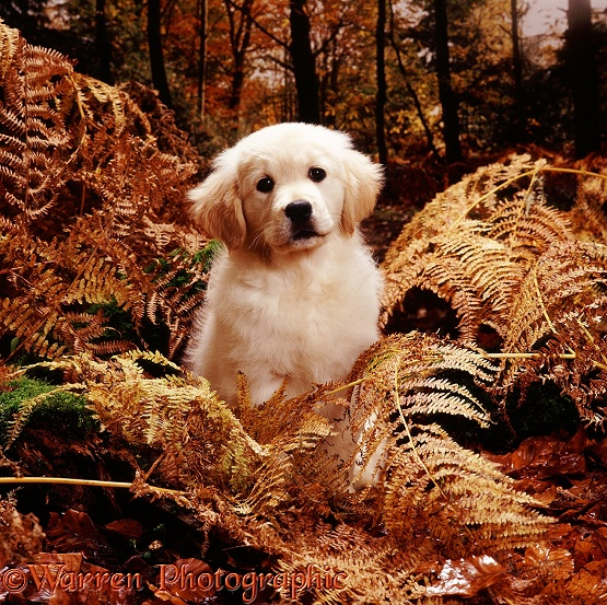Golden Retriever puppy Lala, in Autumn woods