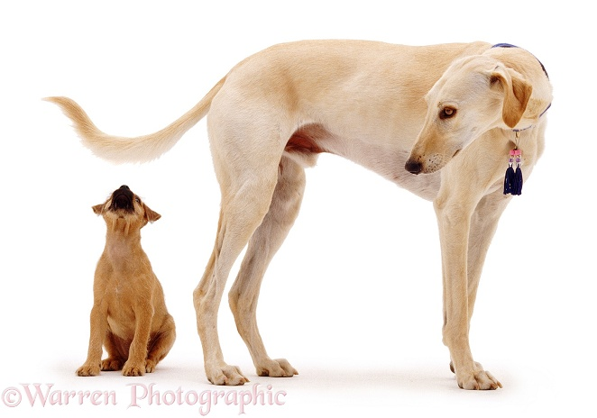Terrier puppy, Winston, with Saluki Lurcher, Swift, white background