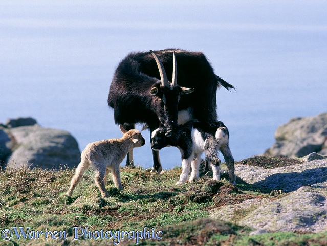 Goat and kids.  Lundy Island, England