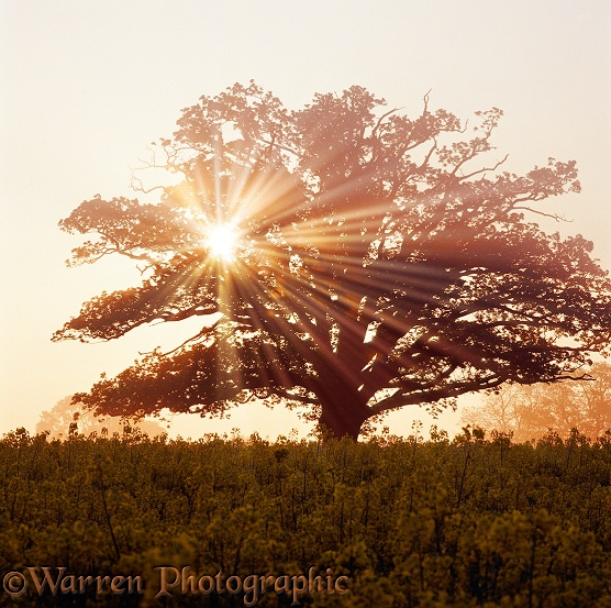 Oak (Quercus robur) tree with mist and sunbeams.  Surrey, England