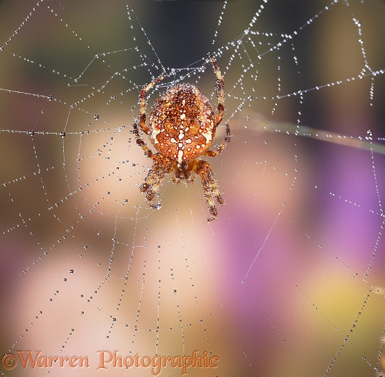 Garden Spider in dewy web