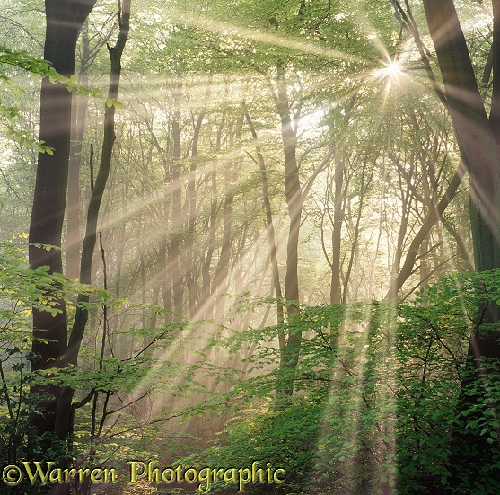 Beech (Fagus sylvatica) trees with mist and sunbeams.  Surrey, England