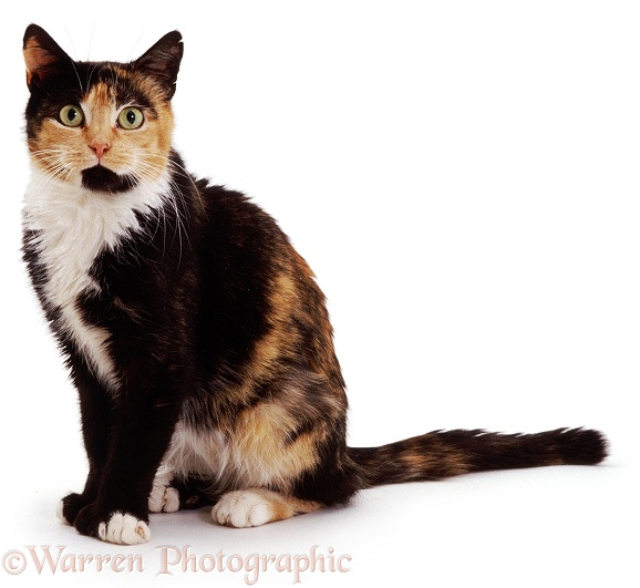 Tortoiseshell-and-white cat Tortie-Toes, white background
