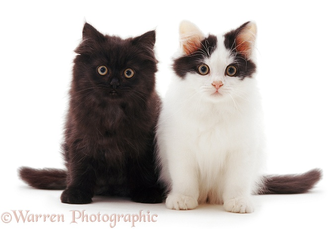 Black and black-and-white bicolour Chinchilla Persian-cross kittens, sitting, white background