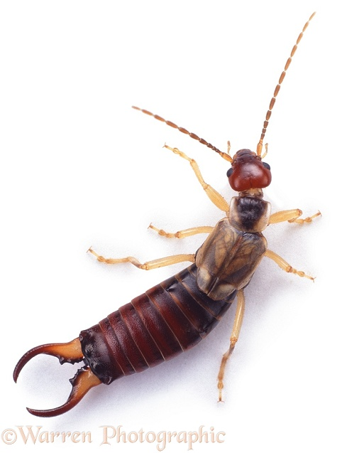 Common Earwig (Forficula auricularia) male, white background