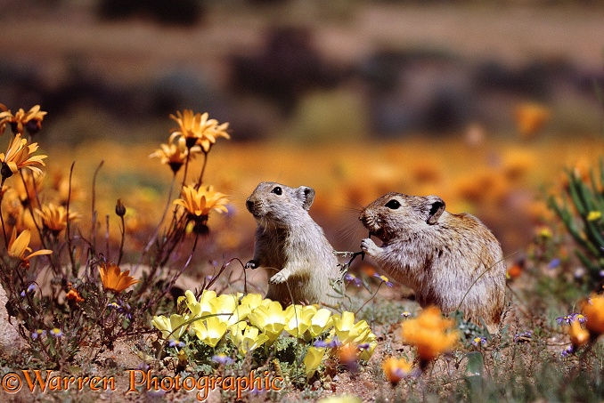 Whistling Rats (Parotomys brantsii) feeding among spring flowers in Namaqualand.  South Africa