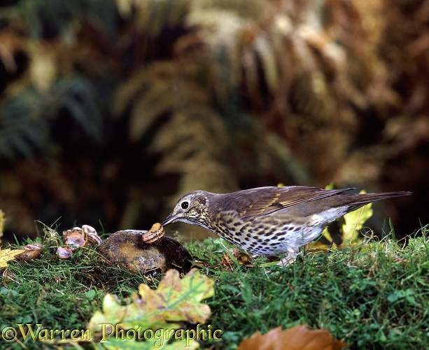 Song Thrush (Turdus philomelos) cracking a garden snail on a stone