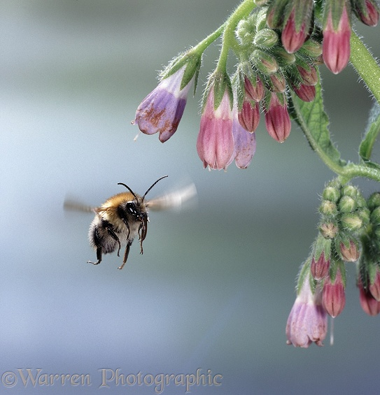 Common Carder Bee (Bombus pascuorum) approaching comfrey flower