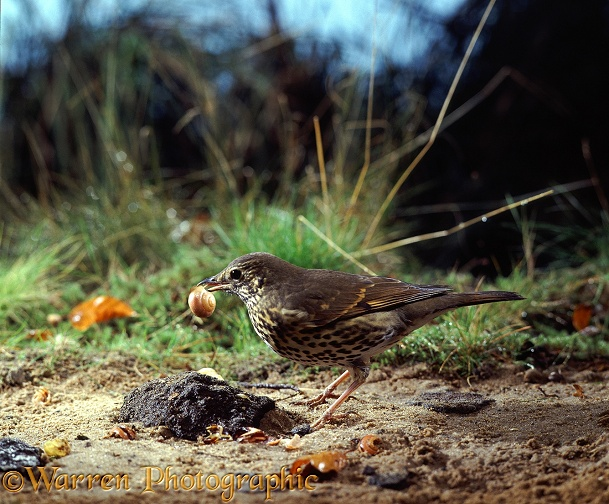 Song Thrush (Turdus philomelos) cracking a striped snail on a stone