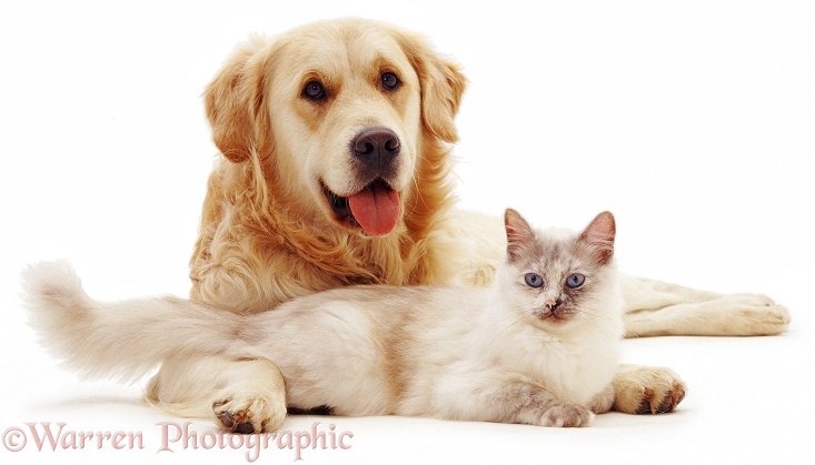 Golden Retriever dog Jez friendly with tortie point Birman cat Tallulah, white background