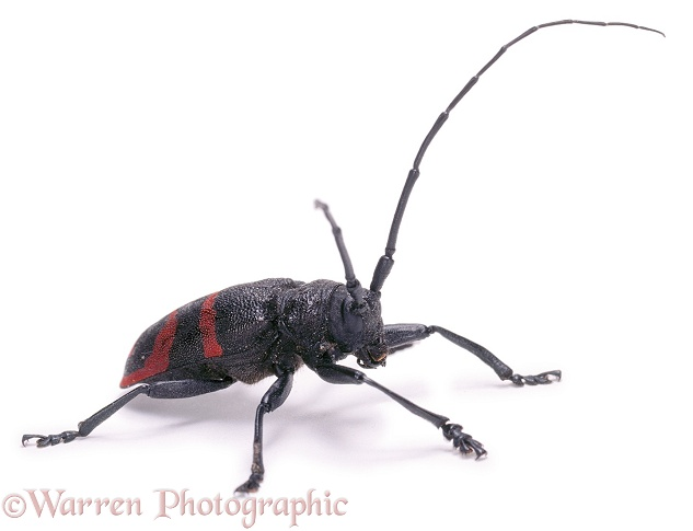 Longhorn beetle (Tragocephala species).  Southern Africa, white background