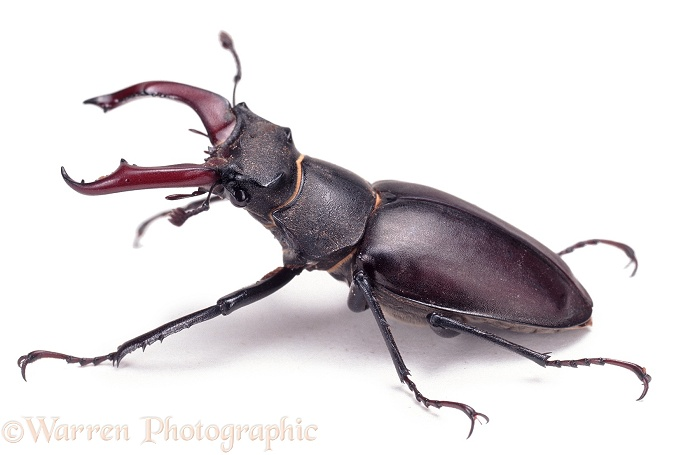 Stag Beetle (Lucanus cervus) male, white background