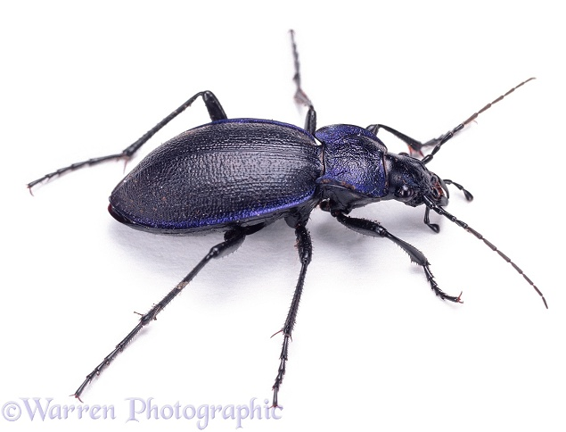 Violet Ground Beetle (Carabus violaceus), white background