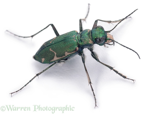Green Tiger Beetle (Cicindela sexguttata), white background