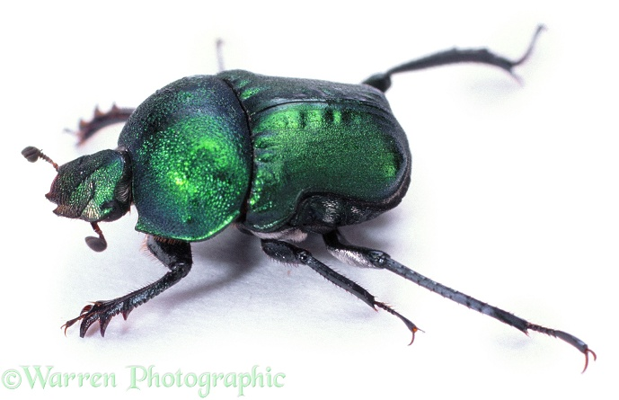 Green Dung Beetle (Garreta nitens), white background