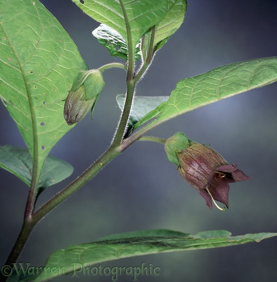 Deadly Nightshade (Atropa bella-donna) flowers.  Europe