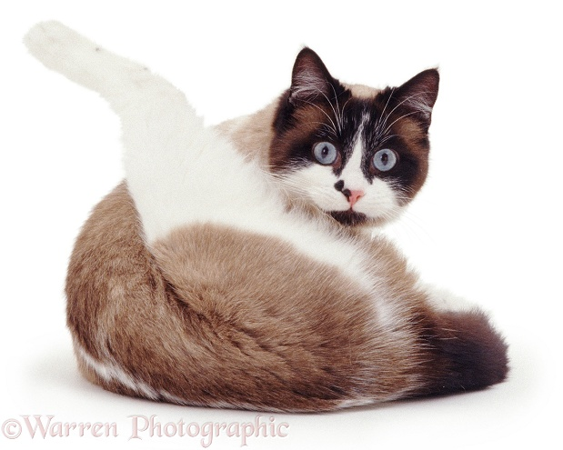 Snowshoe female cat, Eyebright, looking up while 'funnel-grooming', white background