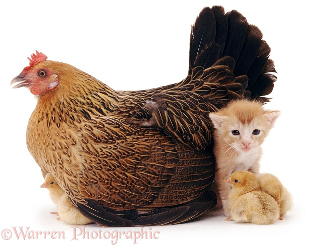 Bantam hen brooding her chicks, 1 day old, and a ginger kitten, 3 weeks old, white background