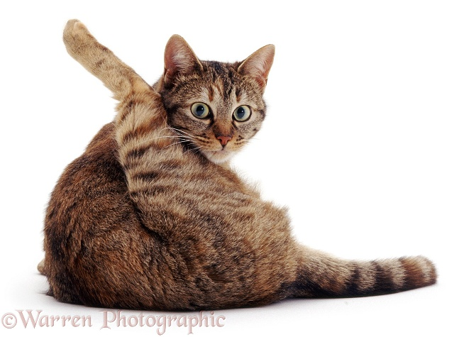 Tabby female cat, Dainty, looking up while 'funnel-grooming', white background