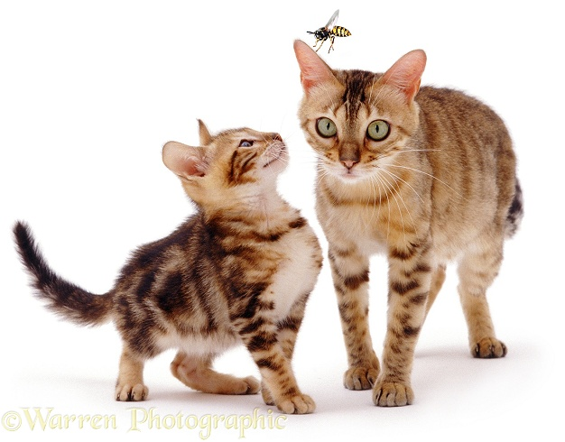 Bengal kitten, Spike, 8 weeks old, watching a large hornet about to land on his mother, Rasha's ear, white background