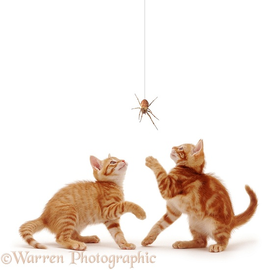 Ginger kittens with spider, white background
