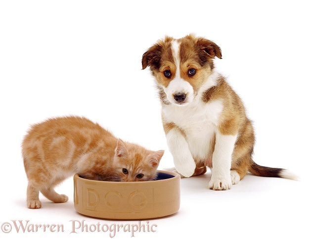 Kitten in a dog bowl, white background