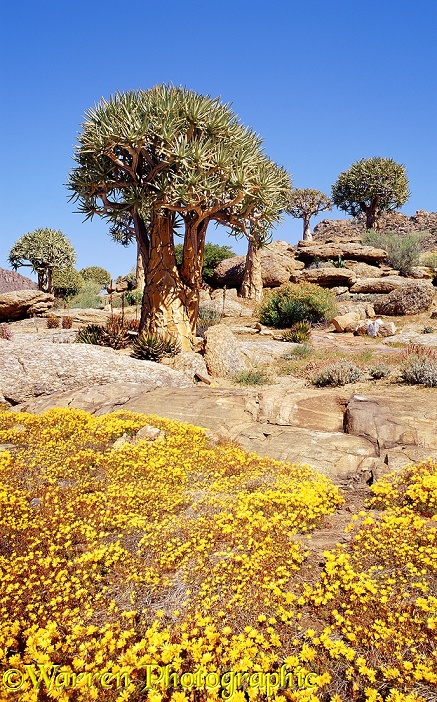 Quiver Trees (Aloe dichotoma) and Osteospermum pinnatum flowers.  South Africa