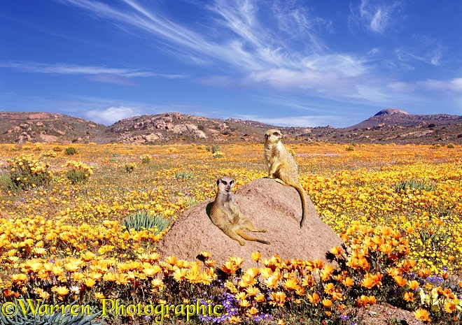 Slender-tailed Meerkats (Suricata suricatta) sunning themselves on a rock among desert flowers.  Namaqualand, South Africa