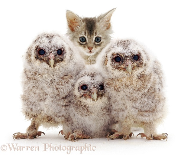 Baby Tawny Owls with kitten, white background