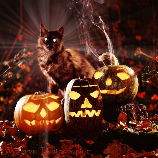 Witch's cat with Jack o' lanterns