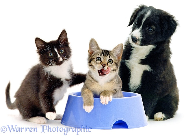 Border Collie puppy watching agouti and black-and-white kittens, 12 weeks old, playing in his blue dog-food bowl, white background