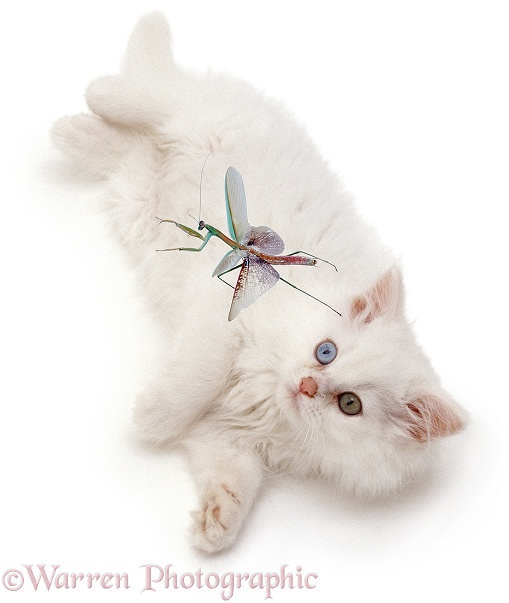 White cat looking up at flying mantis, white background