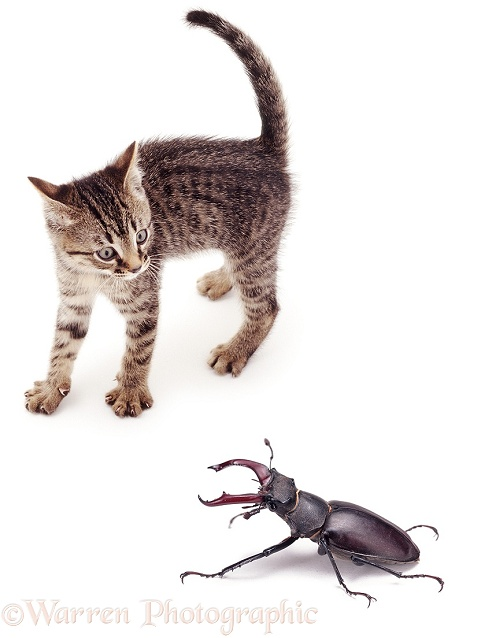 Kitten going into mock frightened display at the sight of a large stag beetle, white background