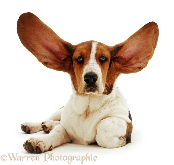 Basset with ears up, white background
