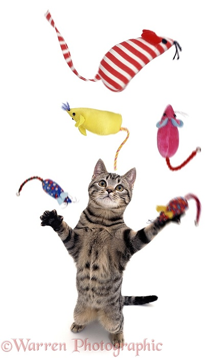 Cat juggling toy mice, white background