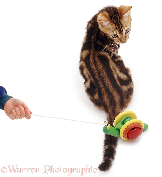 Tabby cat looking round at toy snail, white background