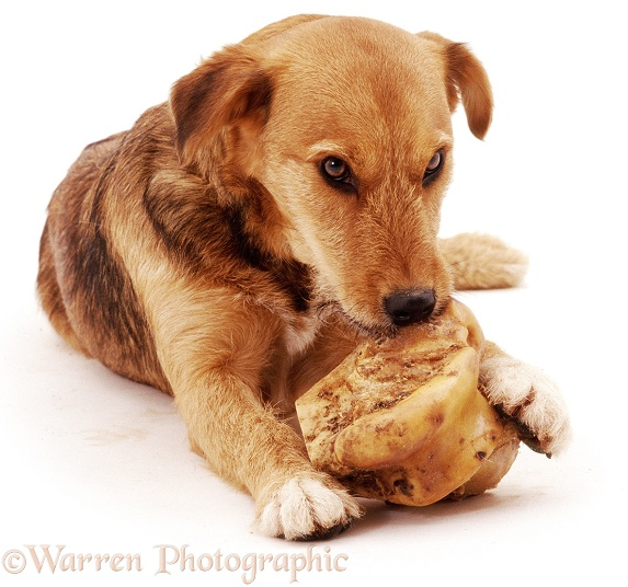 Lakeland Terrier x Border Collie Bess, with roasted marrow bone, pauses, motionless, eyeing intruder, ready to snarl, then bite if necessary, white background